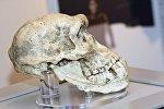 В Грузии найден древний череп предка человека