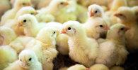 Цыплята на птицефабрике, фото из архива