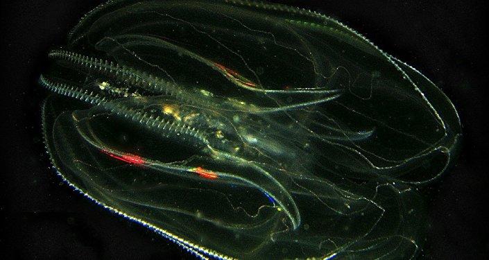 Mnemiopsis leidyi - nərəkimiləri məhv edən meduza