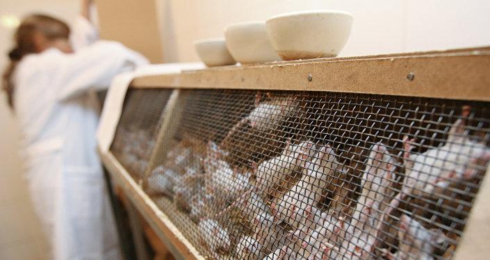 Подопытные мыши в лаборатории