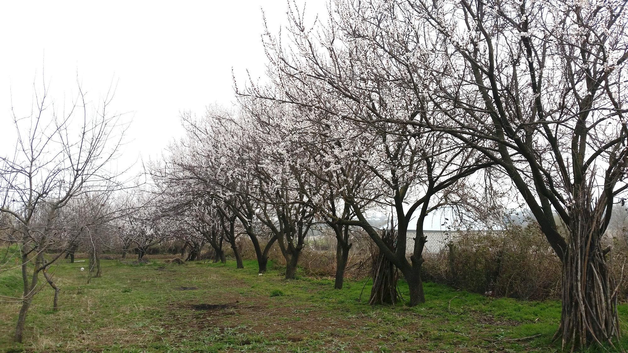 Təsərrüfatında çoxlu meyvə ağaclarının olmasına baxmayaraq, bağ sahibləri normal məhsul götürə bilmirlər