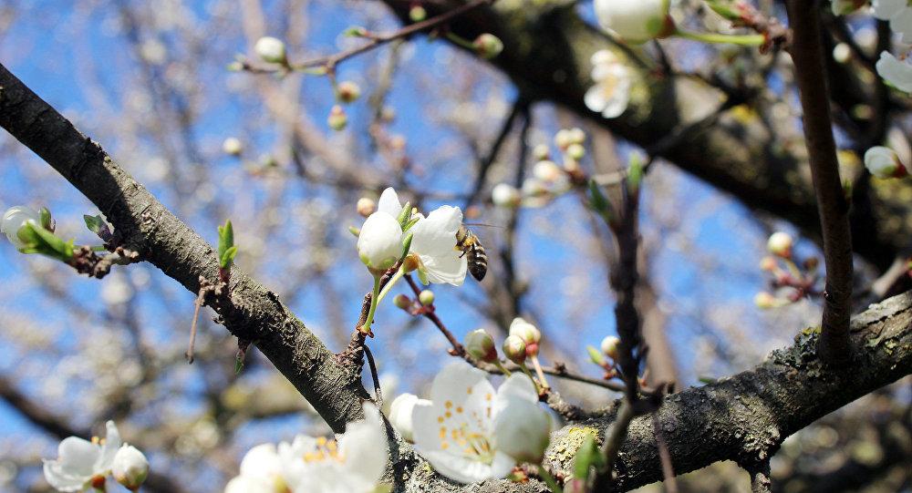 Qışın son günlərində havaların mülayim keçməsi bəzi meyvə ağaclarının vaxtından əvvəl çiçək açmasına səbəb olub