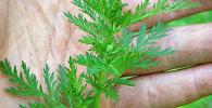 Yovşan - Artemisia annua