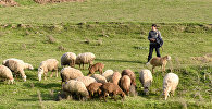 Юный пастух пасет стадо баранов. Архивное фото