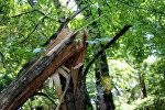 Şimal-qərb bölgəsində müşahidə olunan güclü yağış və külək iri ağacların gövdəsini yarıdan qoparıb