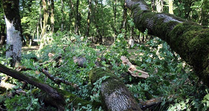 Güclü yağış və külək iri ağacların gövdəsini yarıdan qoparıb
