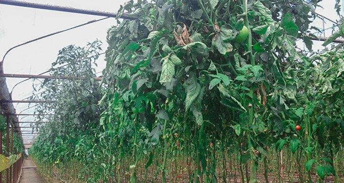 İstixanadakı pomidor tağları