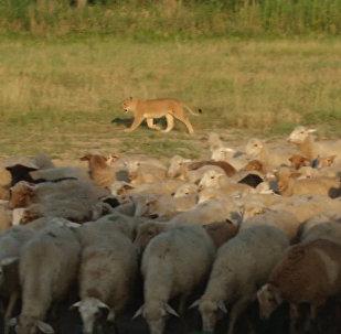 Львица-пастух, или Как Машка охраняет овец на ферме в Дагестане