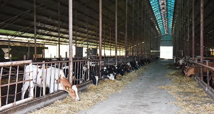 Животноводческая ферма в Агдамском районе