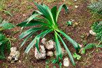 Adasoğanı bitkisi