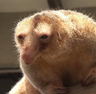 В зоопарке Лимы обитает самый старый карликовый муравьед