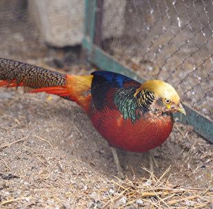 Фазан в Бакинском зоологическом парке