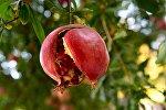 Спелый гранат на дереве, архивное фото