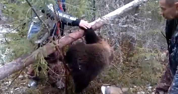 Охотники вызволили медвежонка из браконьерской ловушки под Архангельском