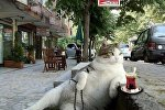 Стамбульский кот Томбили, архивное фото