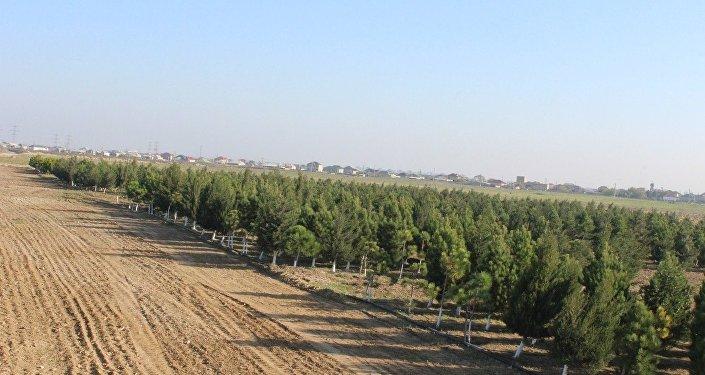 Оливковые деревья, высаженные на Абшероне в рамках программы по озеленению, архивное фото