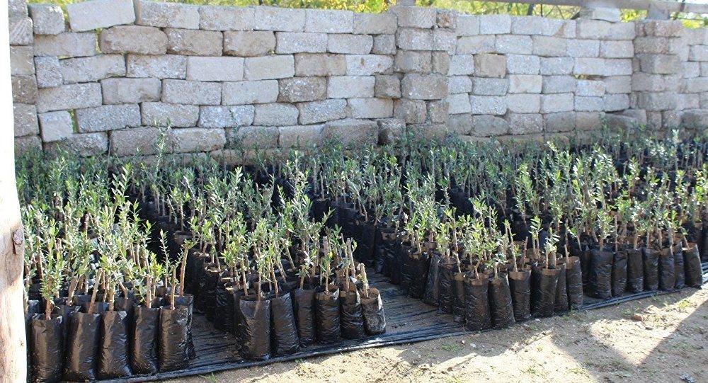 Ağacəkmə aksiyasında kənd təsərrüfatı əhəmiyyətli zeytun ağacları əkilib