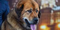 Международная выставка собак CASPIAN SEA WINNER-2016 в Баку