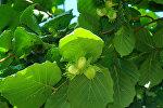 Зеленые плоды на ореховом дереве, фото из архива