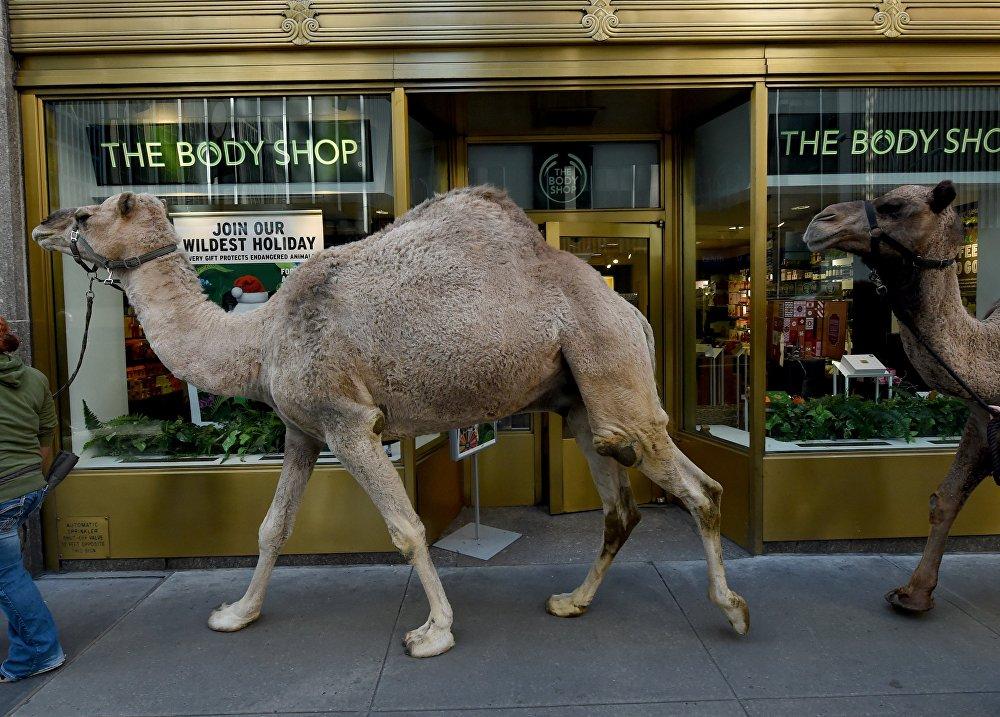 Верблюды в Нью-Йорке
