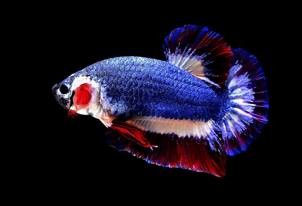 Самая дорогая бойцовая рыбка в мире