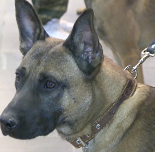 Впервые в Россию привезли трех уникальных служебных собак-клонов