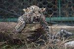 Детеныш леопарда, фото из архива