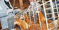 Вакцинация домашней птицы
