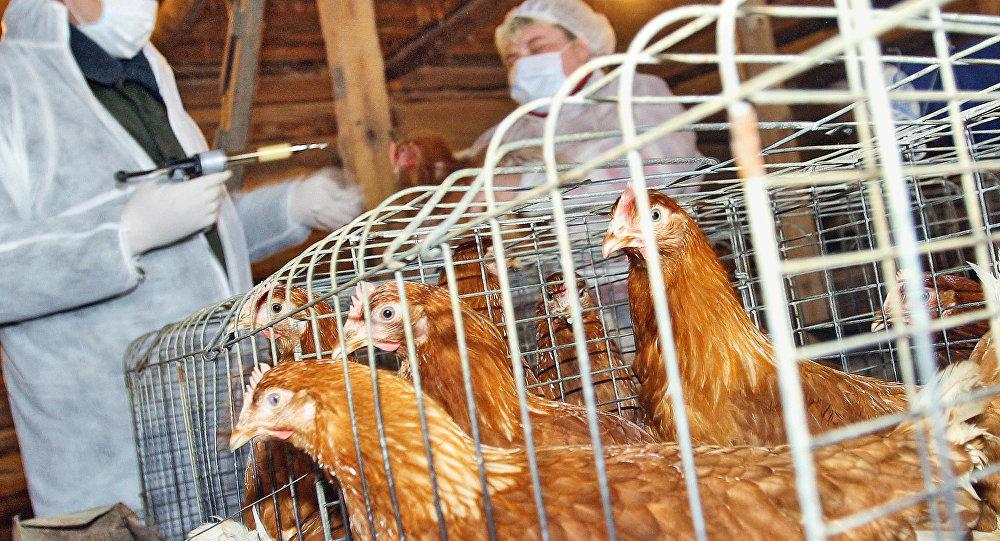 Ev quşlarının peyvənd edilməsi, arxiv şəkli