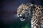 Leopard, arxiv şəkli
