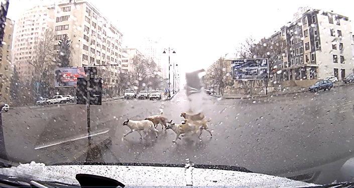 Собаки на пешеходном переходе в Баку
