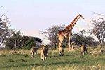 Zürafə və aslanlar, arxiv şəkli
