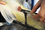 Получение икры осетровых рыб прижизненным способом, фото из архива