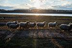 Стадо овец, фото из архива