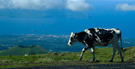 Коровы на пастбище, фото из архива