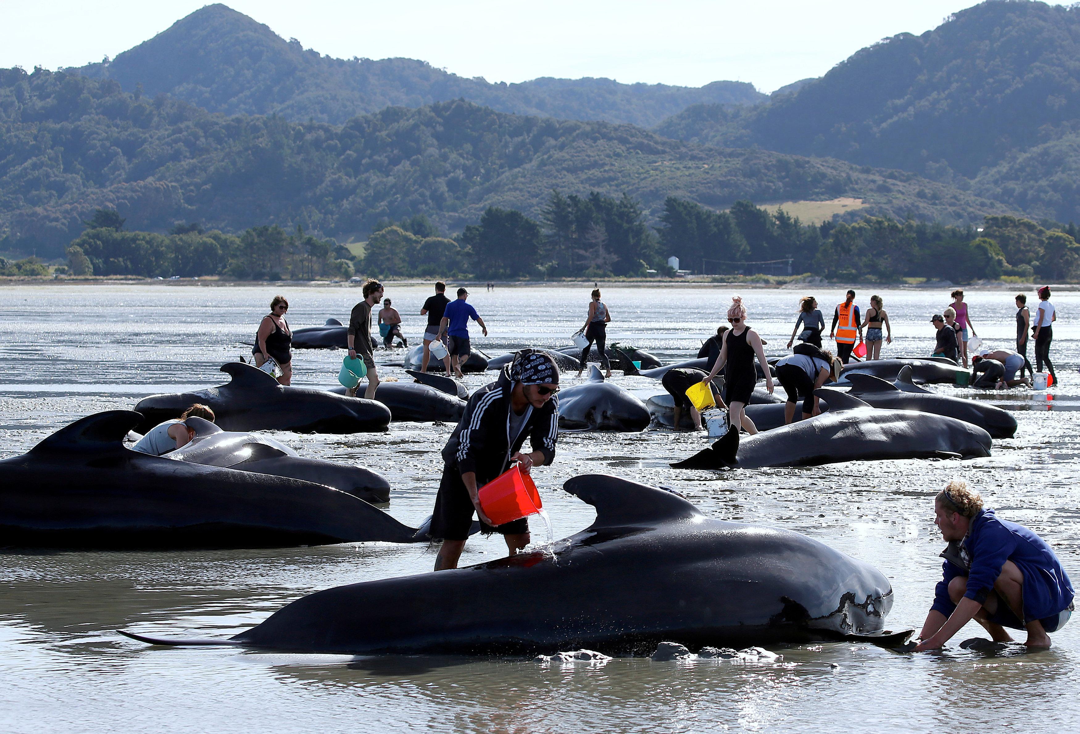 Yeni Zelandiyanın Cənub Adası sahillərinə çıxan 400-dən çox balinanın 70 faizi həyatını itirib