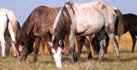 Азербайджанские коневоды возрождают древних скакунов