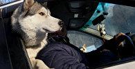 Собака породы хаски с хозяином в машине, фото из архива