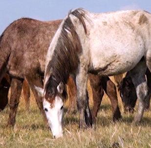 Dilbaz atları Qazax rayonunun simvollarından biridir