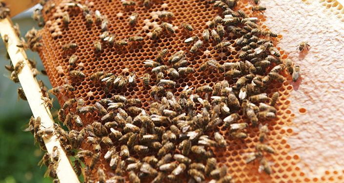 Пчёлы на сотах, частично заполненных мёдом, фото из архива