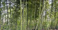 Bambuk ağacları