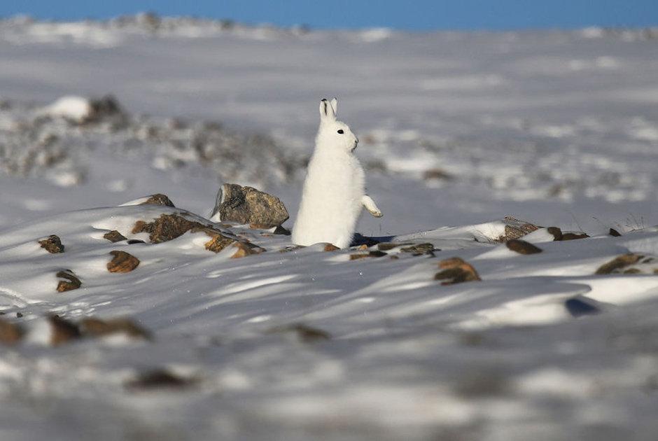 Tule aviabazası yaxınlığında amerika ağ dovşanı