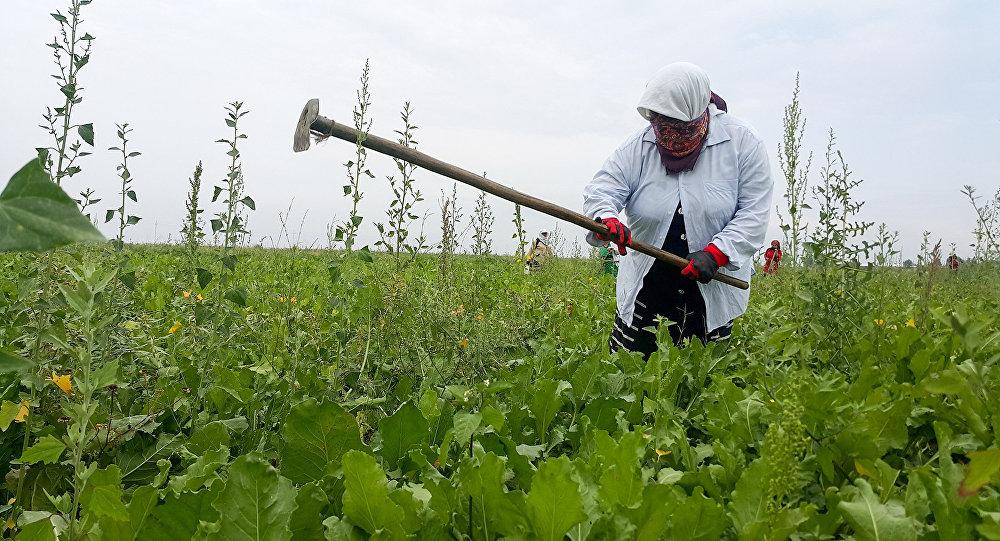 Bərdə rayonunda çalışan günəmuzdçuların əksəriyyəti Tərtərin kəndlərindəndir