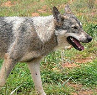 Бешеная собака, фото из архива