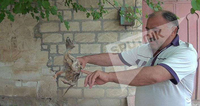 Останки неизвестного существа житель села Мурвет Гулиев обнаружил среди камней