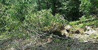 Kəsilmiş ağaclar