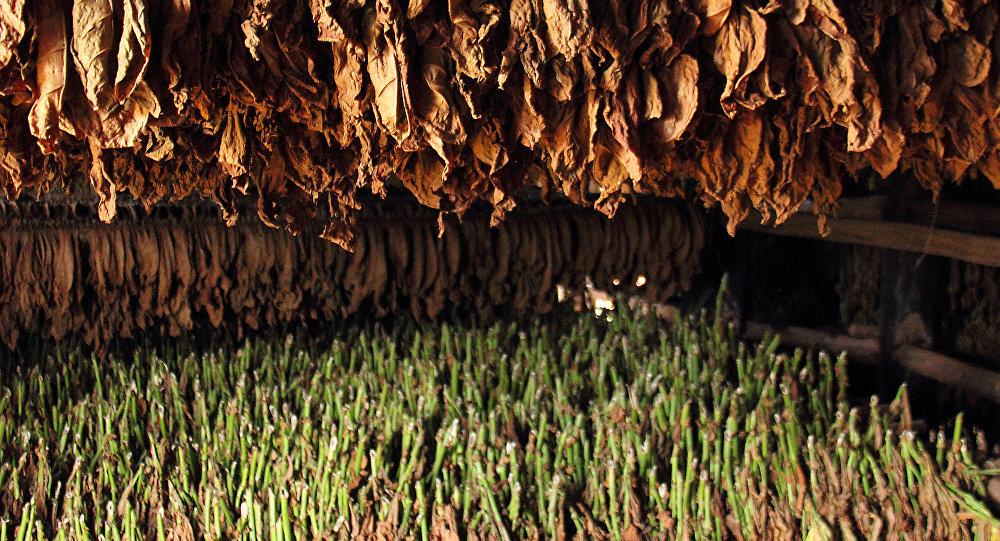 Сушка табака, фото из архива
