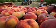 Погрузка уложенных в ящики персиков