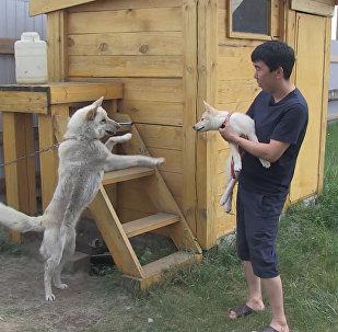 Якутская лайка Суутук впервые встретилась с клонированным из ее уха щенком