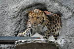 Леопард, фото из архива